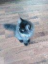 Vând motan persan (4 luni) oferta Vanzari pisici
