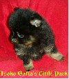 Pomeranian cu pedigree oferta Vanzari caini de rasa