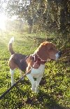Beagle mascul 3 ani pentru monta oferta Imperecheri caini